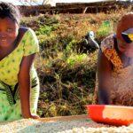 Tanzania Tweega Peaberry