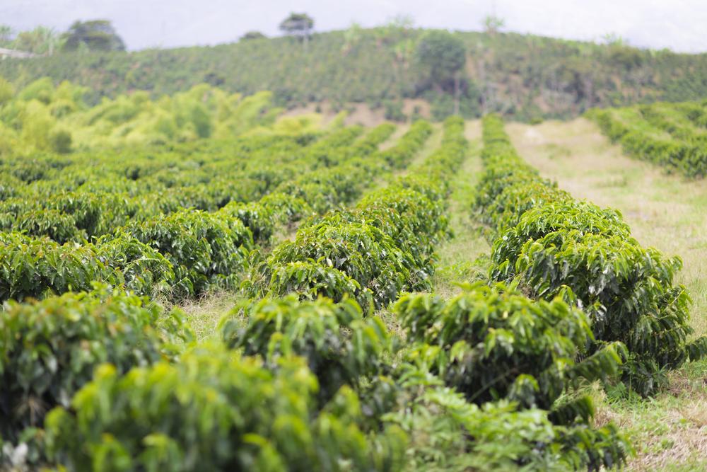 Burundi Coffee Unroasted Green Coffee Beans African Burundi